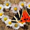 бабочка медведица четырехточечная гера